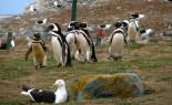 Dos Islas, Una Aventura de Colonias de Pingüinos Magallánicos y Lobos Marinos