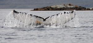 Ballenas y fauna patagónica en el Parque Marino Francisco Coloane – Isla Carlos III