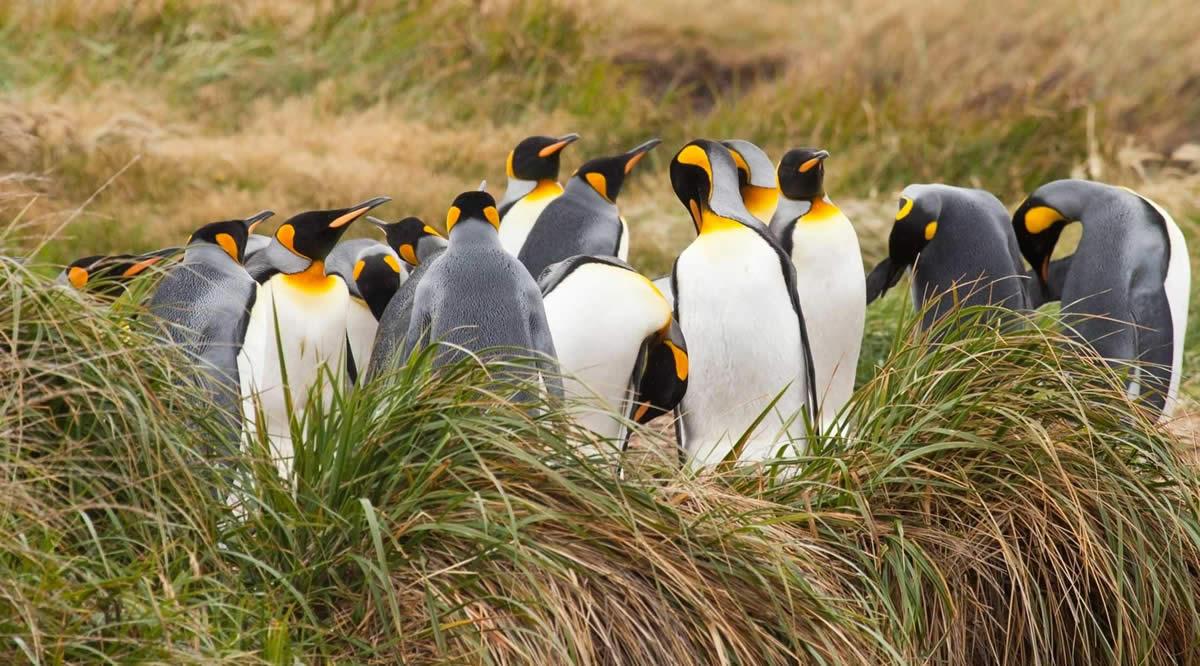 pinguino-rey-tierra-del-fuego