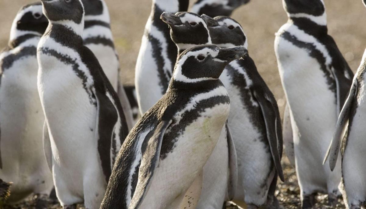 pinguinos-magallanicos