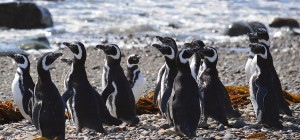 Pingüinera Seno Otway en Punta Arenas